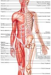 Da muscle system