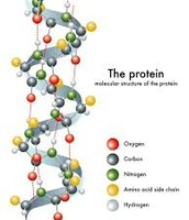 """""""The protein"""""""