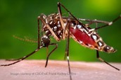 Malaria-carrying mosquito