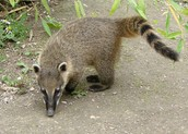 Coati, special to South America