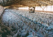 Factory Farmed and Raised Chickens