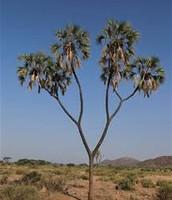 Doum Palms