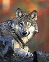 History of wolves in North America