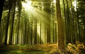 Little Bit About Conifer Forests