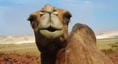 This is a Camel