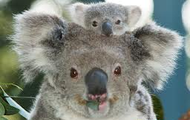 What do koalas eat