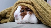 This guinea pig is under a blanket.
