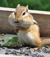 Characteristics Of Chipmunks