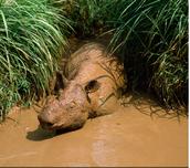 Sumatran Rhino getting a mud, sunscreen bath.