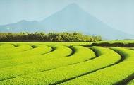 Tea Plantation in Chiran, Kagoshima