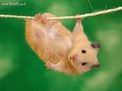 Hamster athlete