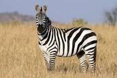 A zebra live in the grasslands.