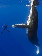 This is the size of a human compared to a humpback whale