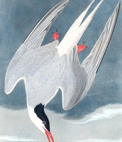 The drawing of the arctic tern.