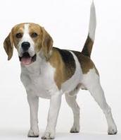 כלב מסוג ביגל