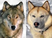This is how wolves and dogs are similar