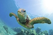 About the Sea Turtle