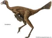 Caleb, the Controversial Caudipteryx