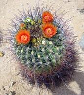 The Orange Flowering Barrel Cactus