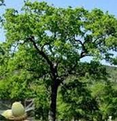 Quercvs macrocarpa