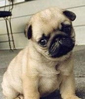 Here is a Pug
