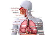 The basic function of the respiratory system