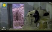 Smithsonian Panda Cam