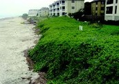Beach Vitex #2