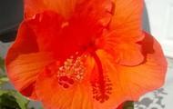 Hibiscus rosa-sinenis