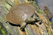 Eastern Spiny Soft-shell Turtle