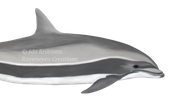 fraser dolphins