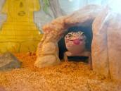 Lizard in cave
