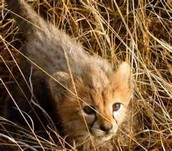 This is a baby cheetah