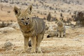 a desert fox