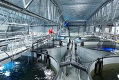 Where the Salmon is Farmed