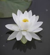 The Lotus is an important symbol of Buddhism