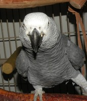 !ADULT AFRICAN GREY PARROT!