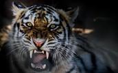 Animal: Tigers