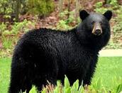 Billy the bear