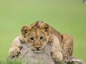 bebe cachorro de león