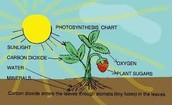 Photosynthesis Digram