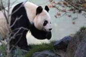 Panda Romeing