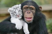 A monkey and a tiger