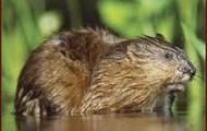 Muskrats not Beavers