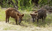 Do feral pigs have an effect nationwide?