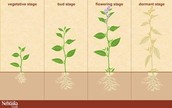 The stages of a plant