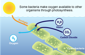 bacteria with chloroplast produces energy for an organism