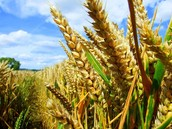 Some of Egypts crops are....