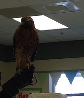 Hawk from the Raptor Center