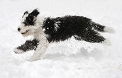 Sheepdog Running
